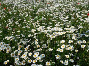 Prestekrager Foto: Pixabay/succo daisies